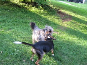 Buddy and Lucy playing.