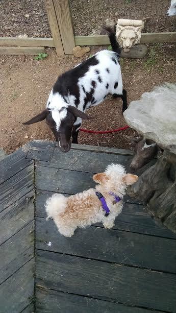 goat sniff Toni